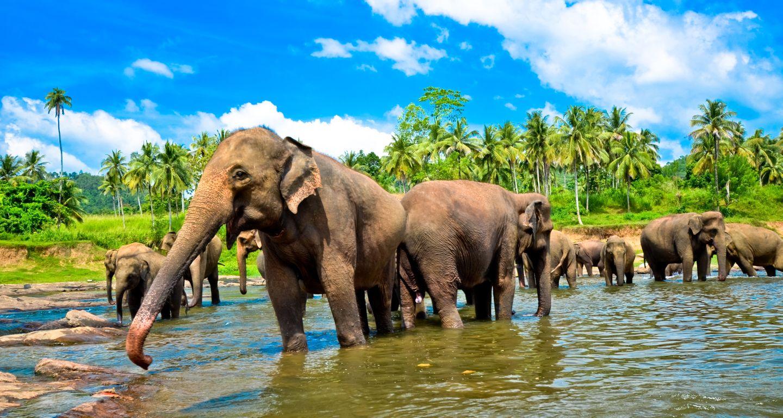 Elefants in Pannawala.